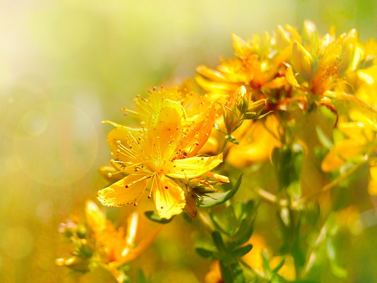 St. John's Wort is a medicinal plant you can grow at home