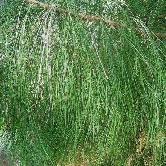 Horsetail tree | Casuarina equisetifolia