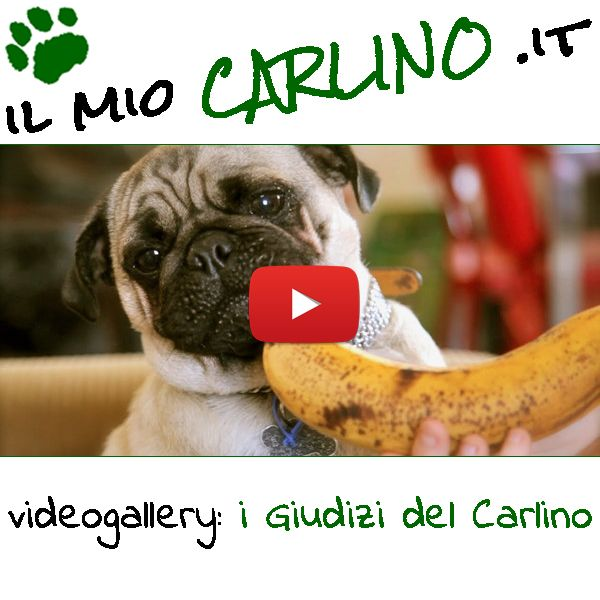 Meravigliosi filmati di Carlini che giudicano cibi e giochi! #carlini #cani #giudici #critici #cibo
