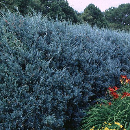Beautiful Bluish-Gray Color All Year Long -  Dense foliage shields you from nosy neighbors or a poor view, and makes a very effective windbreak! Thick and full, this moderately sized Juniper creates an impenetrable screen or windbreak, but is short enough to not interfere with power lines. A row will add vertical interest along a...