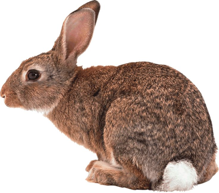 Image from http://www.gainesvillerabbitrescue.org/new/wp-content/uploads/2013/05/rabbit-repellent.gif.