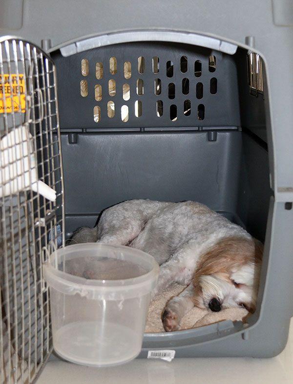 Jet Cavoodle Prepares for Quarantine in Australia - Pet Relocation | International Pet Travel via myoodle.com #cavapoo #oodle #doodle #dog #poodle #labradoodle #groodle #maltipoo #moodle #goldendoodle #eskapoo #airedoodle #bichpoo #cadoodle #bordoodle #chipoo #choodle #corgipoo #flatdoodle #iridoodle #jackapoo #peekapoo #pekepoo #newdle #newfypoo #pomapoo #shoodle #schnoodle #lhasapoo #shepadoodle #shipoo #spoodle #cockapoo #cockerpoo #whoodle #yorkipoo