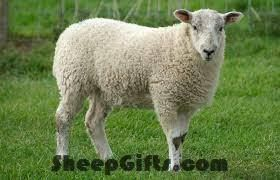 Visit SheepGifts.com for more funny sheep photos and videos