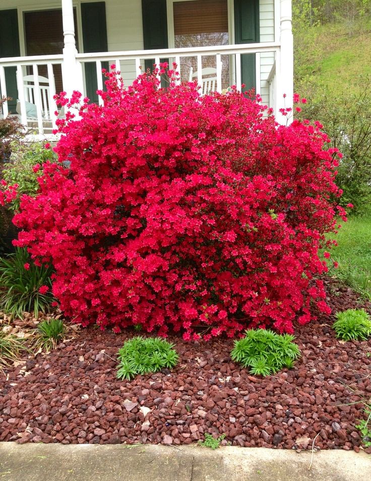Hot pink azalea bush blooming 4-5/2013