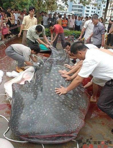 Giant catfish caught ...Pass the tartar sauce Plz.