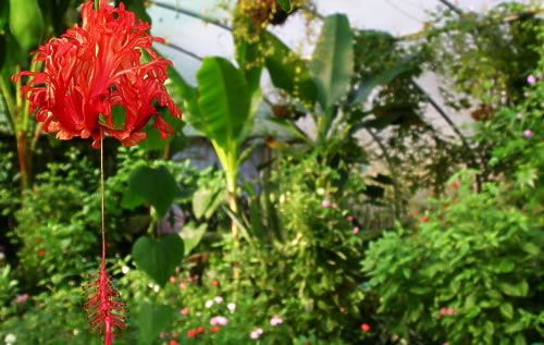 Coral hibiscus schizopetalus