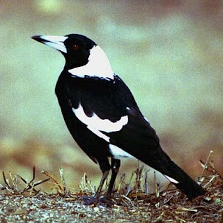 Magpies are elegant and handsome birds. Their closest relatives are crows, ravens, and...blue jays!