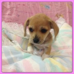 Betty is an adoptable Chihuahua Dog in Hollywood, FL. Hi friends my name is Betty. I'm a 9 week old chi mix and weigh 2lbs. I along with my siblings will be ready for our new home soon. Please call/te...