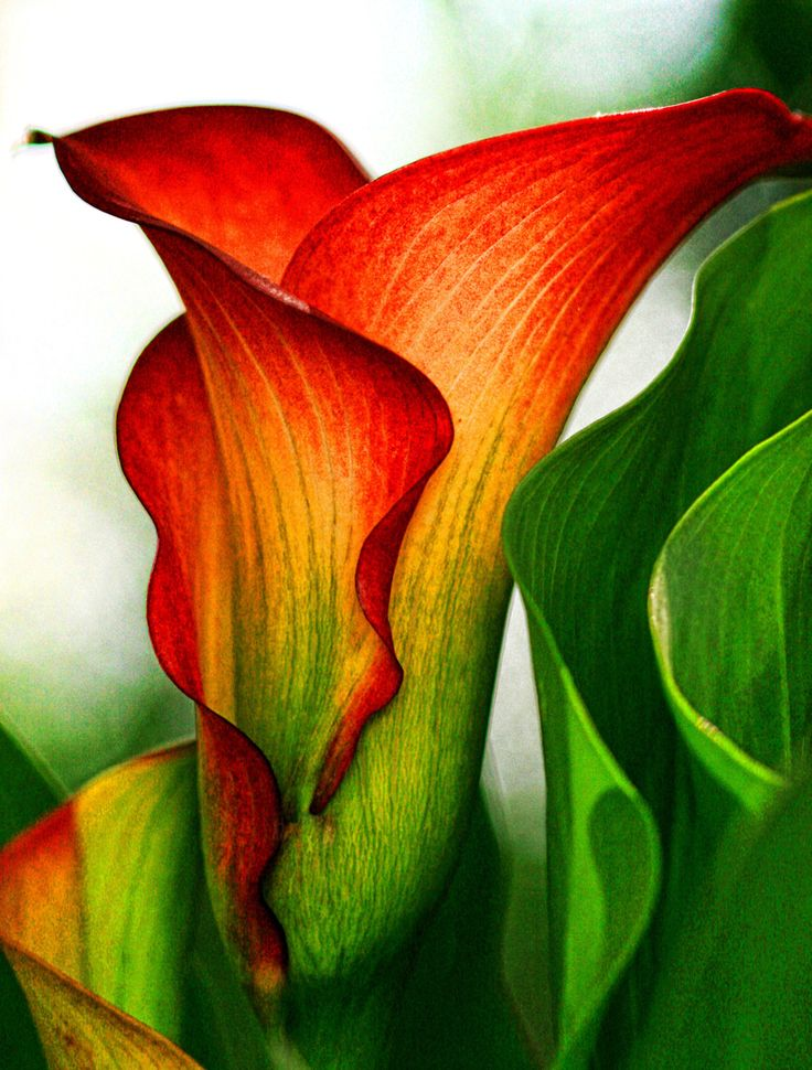 "Botanicals Art Exhibition - 4th Place – Overall Category – Lea Foster – ""Colorful Calla"" -  www.leafosterphotography.com"