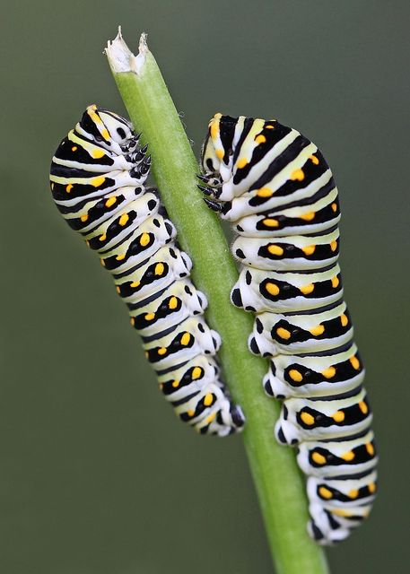 Pair of Black swallowtail caterpillars on fennel stalk- (There's a bunch on my carrot and dill stalks right now.)