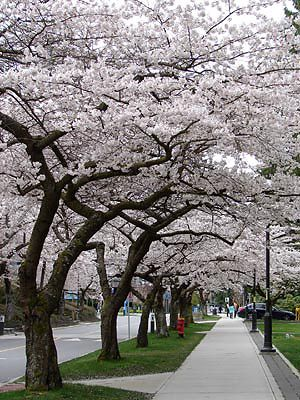 Cherry Blossom_UBC, Vancouver, BC CANADA (Explored) by どこでもいっしょ, via Flickr