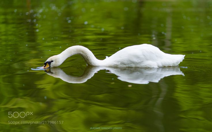 WHITE SWAN WITH REFLECTIONS IN GREEN WATER by VladimirTernovoy via http://ift.tt/2s6NAcz