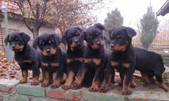 Dog Rottweiler Training Rottweiler Puppies Rot...