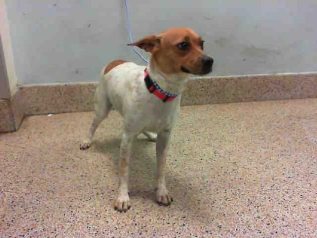CRISTIE • Jack Russell Terrier (Parson Russell Terrier) & Rat Terrier Mix • Young • Female • Medium Miami-Dade Animal Services Miami, FL !!