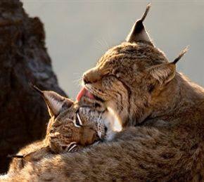 Lynx love