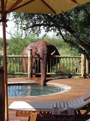 Elephant getting a drink from a pool.