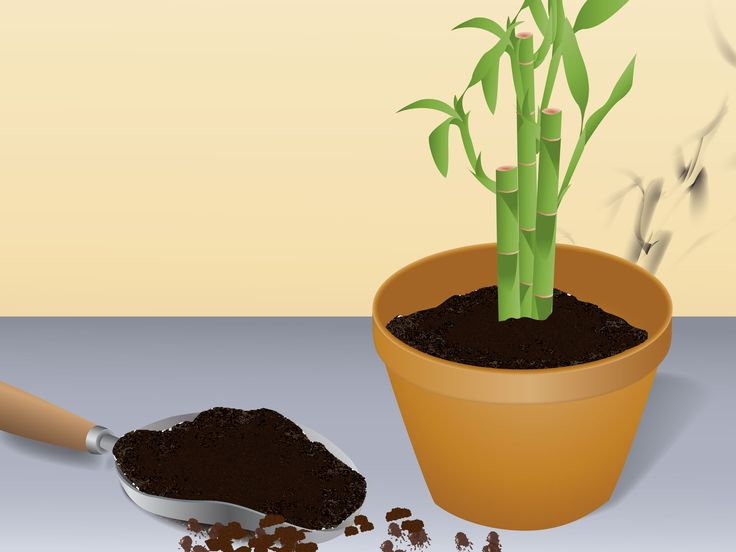Grow lucky bamboo lucky bamboo how to grow and to grow for Indoor plants with less maintenance