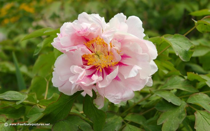 pictures of peony | Click the above thumbnail to view Large images of peony flowers