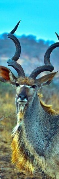 [Kudu macho] > [* - Kudu: antílope africano que tiene pelaje grisáceo o pardusco con rayas verticales blancas, y una cola corta y tupida. El macho tiene cuernos largos curvados en espiral.]