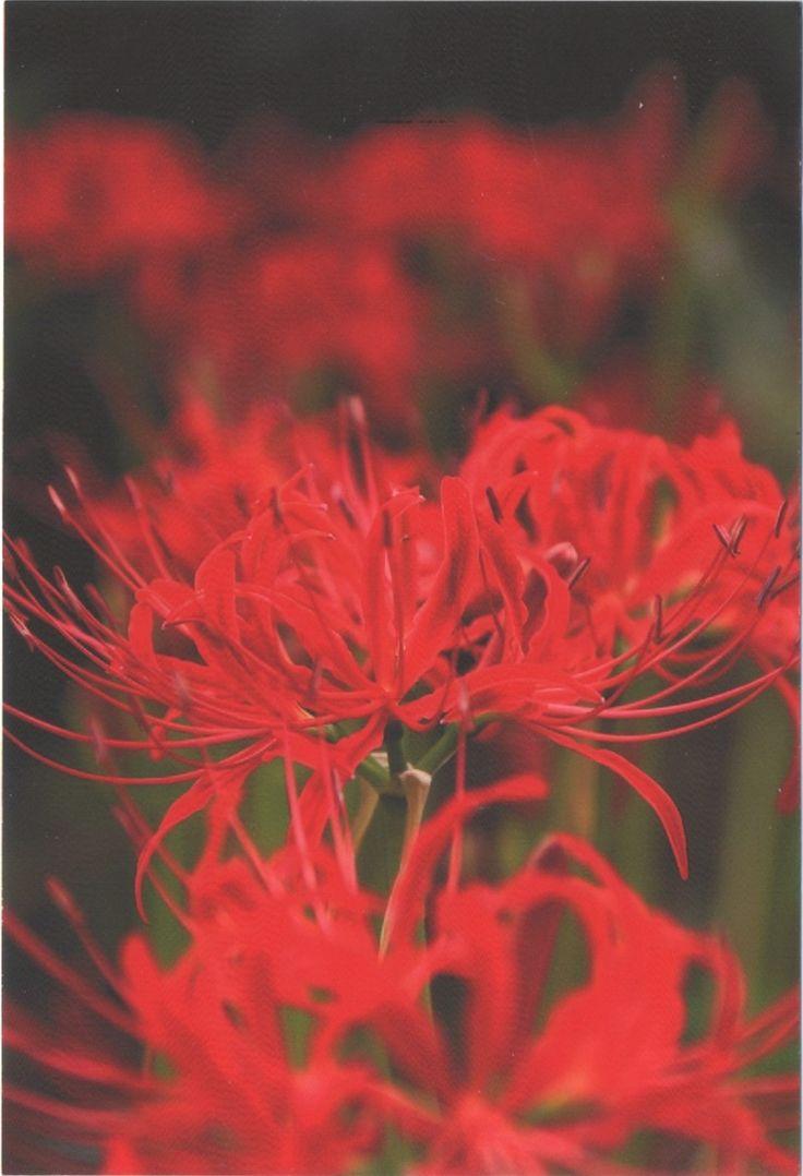 JP-801130  - Arrived: 2016.04.05.   ---   Manjushage flowers