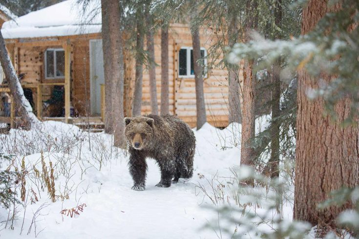 The wildlife gets very close and personal; a bear roams outside the cabins of Bear Cave Mountain, Yukon (photo: Bear Cave Mountain Eco-Adventures).