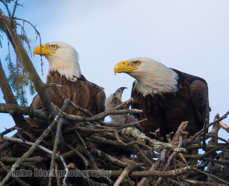 1000 Images About Majestic Bald Eagles On Pinterest