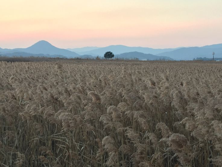 Beautiful sounded reeds in Suncheon