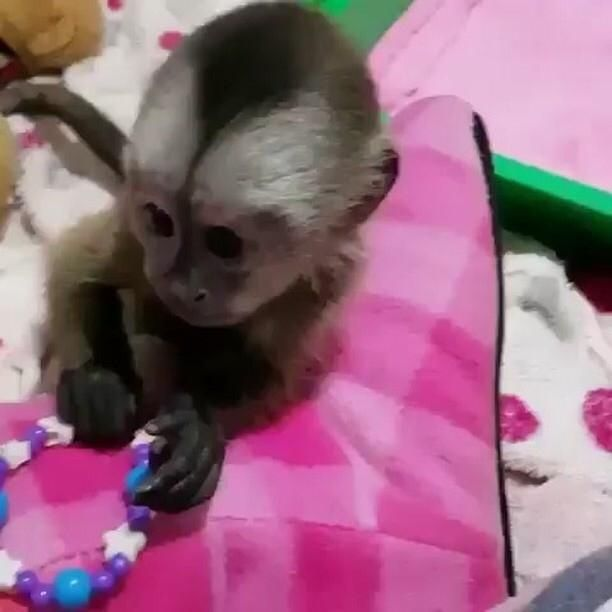 22 Small Monkey For Sale Chapuchin What Sapp For Details 07957246284 For Sale Adoption From Manchester England Bedfor Monkeys For Sale Marmoset Monkey Adoption
