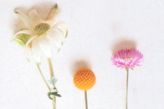Native Daisies | (L - R) Actinotus helianthi 'Sydney Flannel Flower'; Pycnosorus globosus 'Billy Buttons'; Rhodanthe 'Pink'