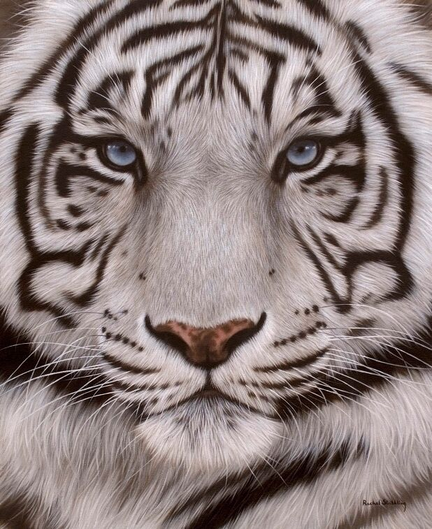 White tiger painting by Rachel Stribbling                                                                                                                                                                                 More
