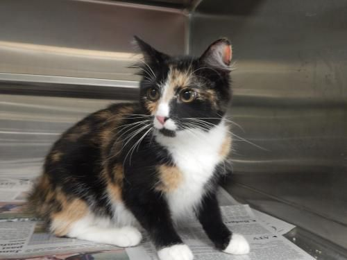Calico Kittens For Adoption Long Island