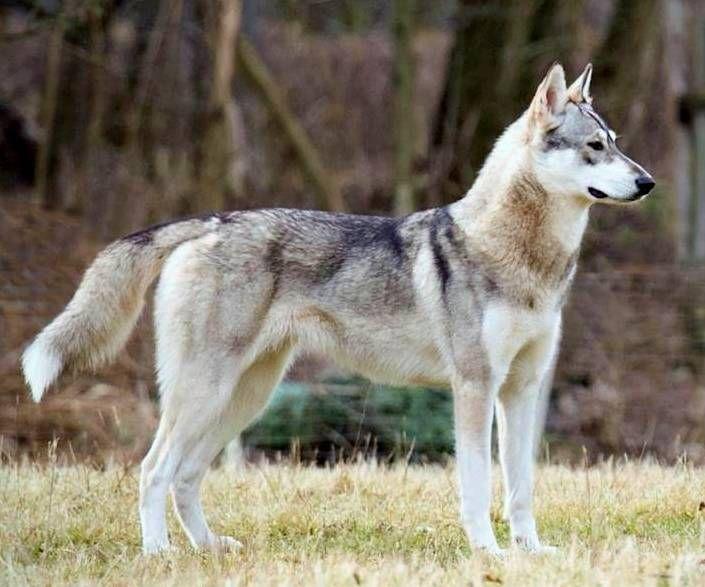 25+ best ideas about Tamaskan dog on Pinterest   Husky cross ...