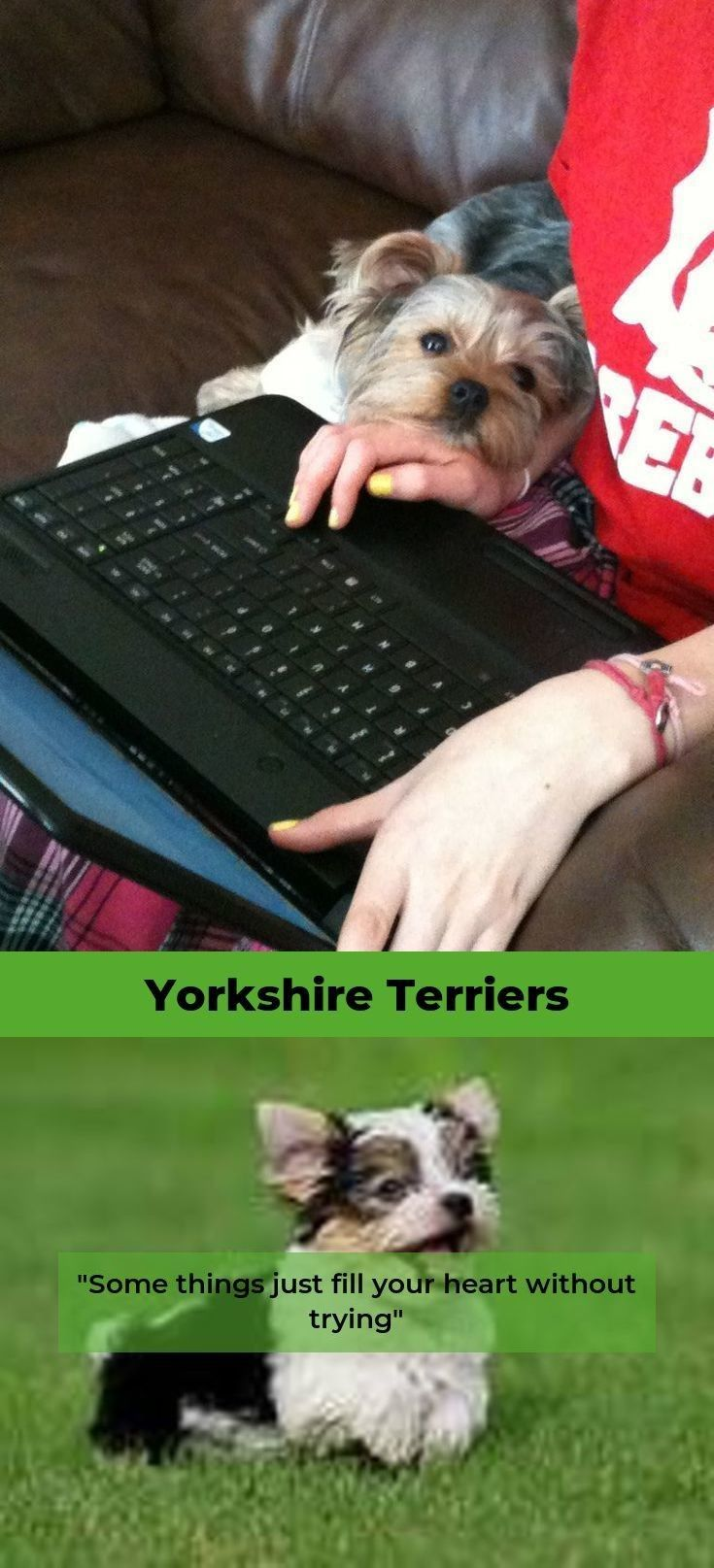 Yorkshire Terrier Facts Yorkshireterrier