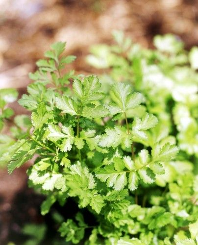 Coriander. Benefits all vegetables by repelling aphids. (Don's Tips: Growing Coriander)