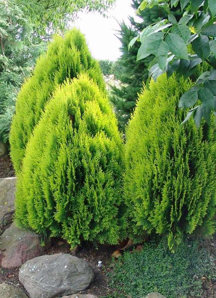 Arborvitae, Golden - Thuja orientalis 'Aurea Nana'