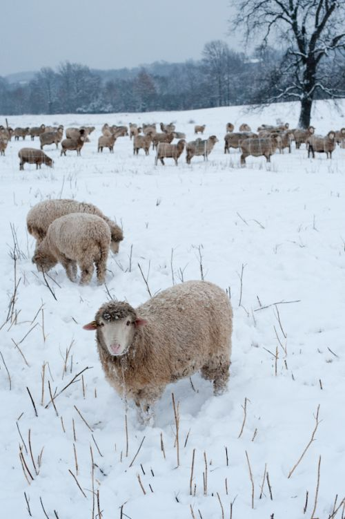 Sheep like snow; they eat it rather than drink from their water tub. The ewes begin to produce milk even before the birth of their lambs.