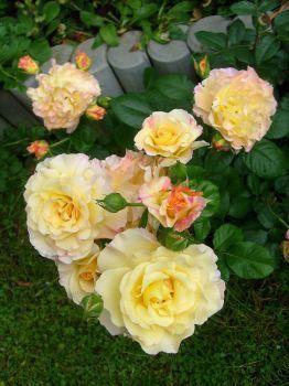 žluté růže (48 pieces)