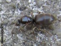 Wegmier - Lasius niger