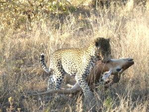 A Leopard kill at Chitwa Chitwa Game Reserve