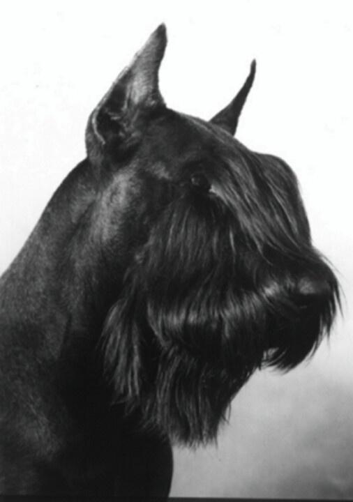 Giant black Schnauzer