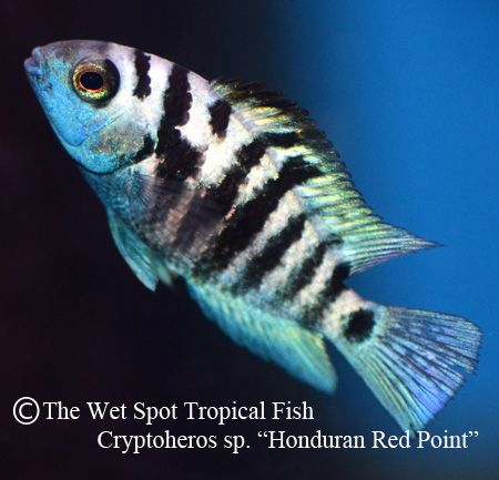 18 best freshwater fish central american cichlids images for The wet spot tropical fish