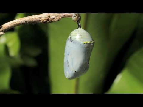 Butterfly emerging from Chrysalis Time Lapse