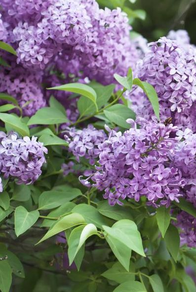 Lilacs Bush Best Growing Conditions for Lilacs Lilac plant (Syringa) is mainly grown for the beautiful blooms with intense fragrance. The colour of lilac flowers range from pink to purple and you can find dwarf to tall varieties. Lilacs plants are easy to take care of and can remain in the garden for decades. Required read more