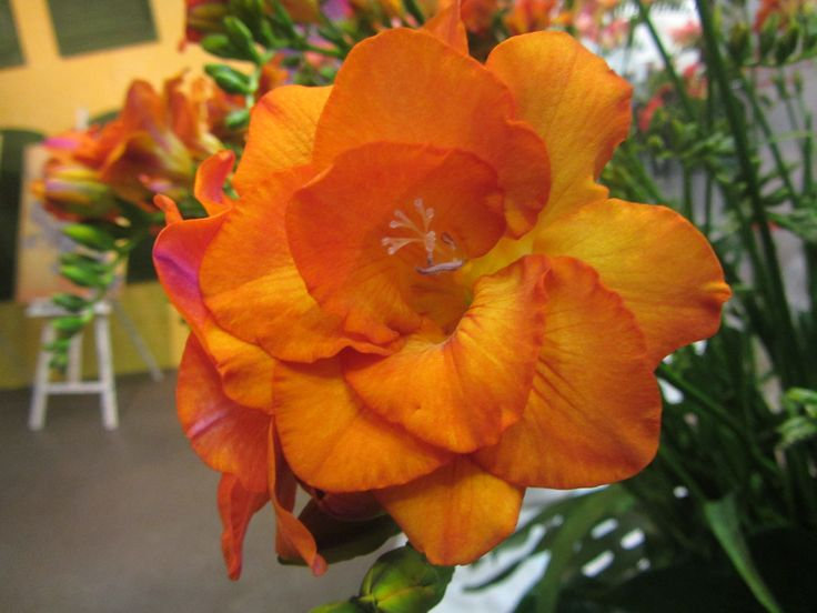 Double orange #freesia 'Clementine', highest rated variety of the entire show (9.67)