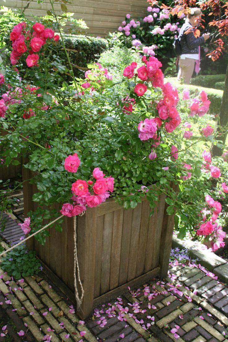58 besten rosen im k bel bilder auf pinterest balkongarten balkon und blumen. Black Bedroom Furniture Sets. Home Design Ideas