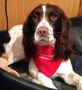 Our usually crazy, bouncy, young English Springer Spaniel Baxter was rushed to Vets Now Referrals Glasgow, suffering with severe heatstroke. Baxter was a very poorly pup indeed, and after a call from our usual vet, it was decided that he should be referred to Vets Now Referrals so that he could benefit from the specialist intensive care facilities required to give him the treatment he needed.
