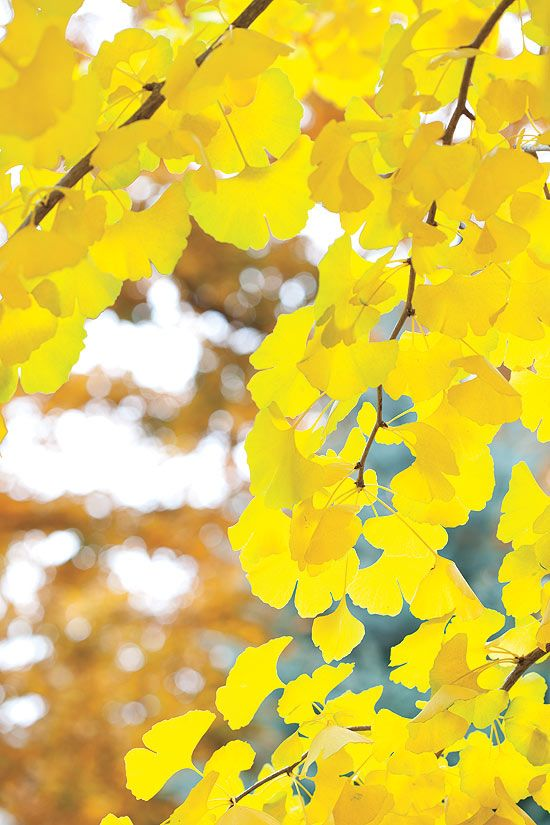 "Maidenhair tree (Ginkgo biloba): ""It goes bright, bright yellow, then one day the leaves just fall—a yellow puddle."""