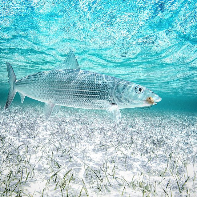 Caribbean Camo Check Out Our Instagram Stories For A Few Tips On Bonefish Handling From Bonefish Tarpon Trust Sport Fi Fish Gallery Fish Fish Swimming