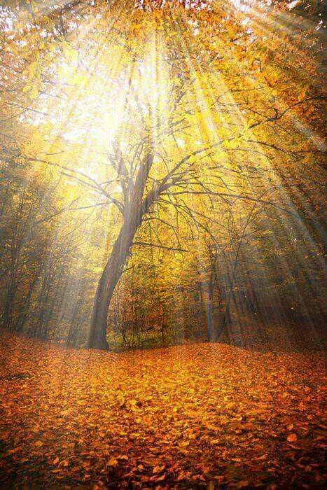 woods | forest | trees | nature | autumn | fall | gold | leaves | sun beams