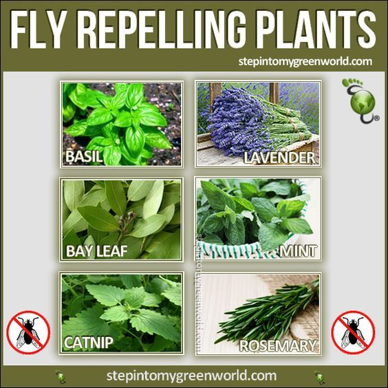 how to get rid of white fly on herbs